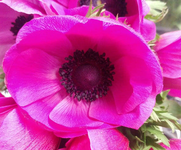 Anemone Hot Pink