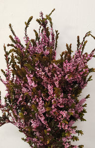 Calycinia Heather Pink