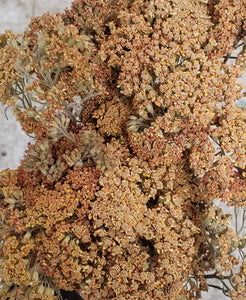 Dried Cottage Yarrow