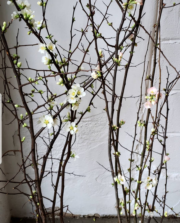 Quince Branches White