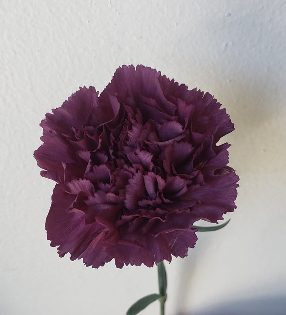 Carnation Antique Purple