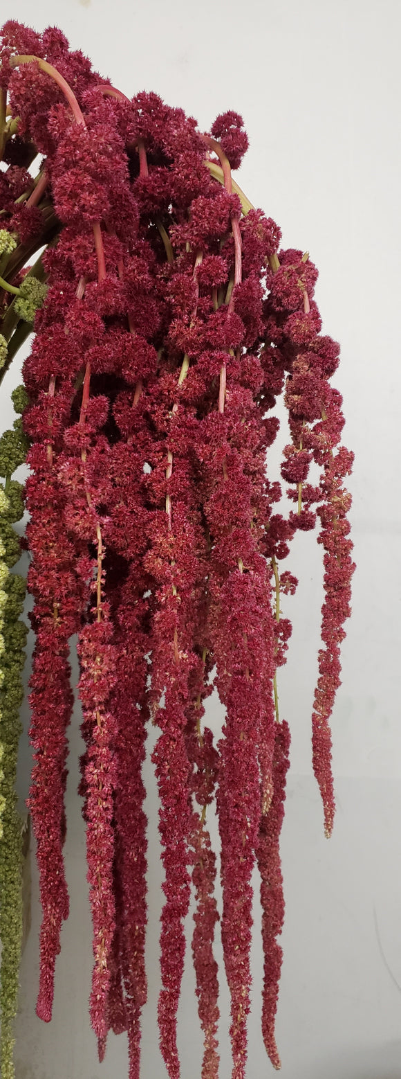 Amaranthus Red Hanging