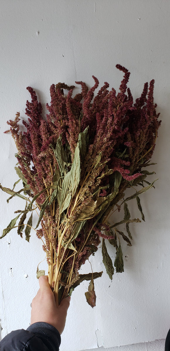 Upright Red Amaranthus Dried