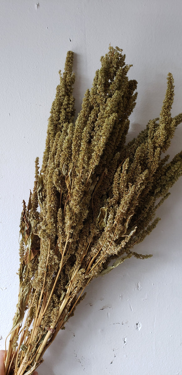 Upright Green Amaranthus Dried