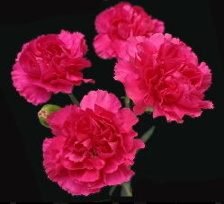 Mini Carnation Hot Pink