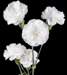 Mini Carnation White