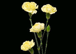 Mini Carnation Yellow