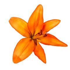 Lily Asiatic Orange