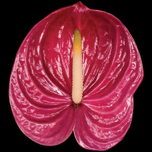 Anthurium Milanello dark pink