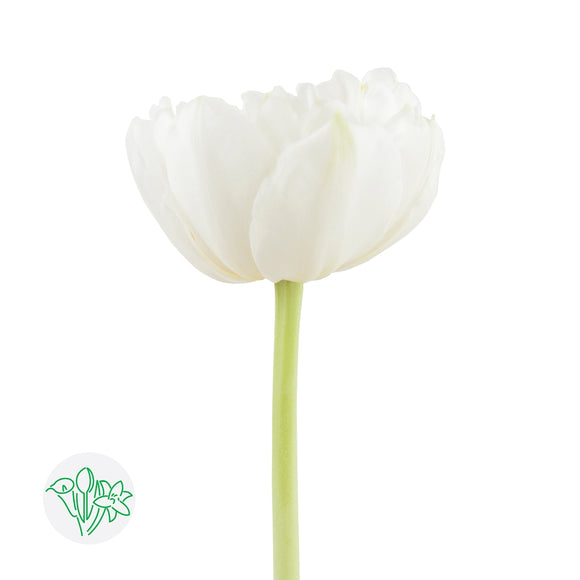 Tulip Double White