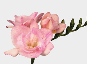 Freesia Double Light Pink