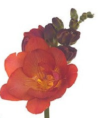 Freesia Double Orange