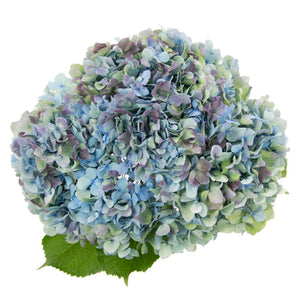 Hydrangea Antique Blue
