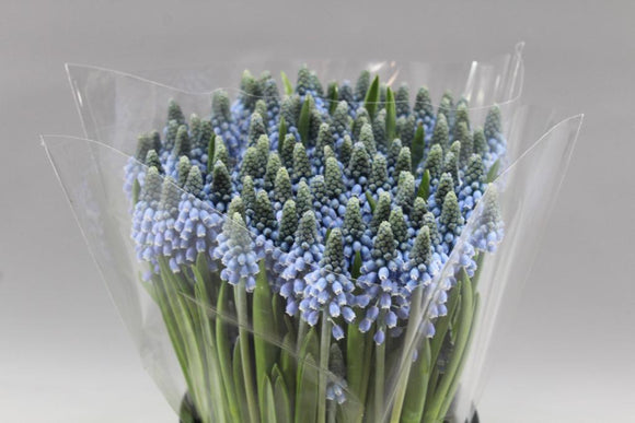 Muscari (50 stems)