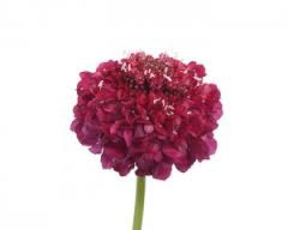 Scabiosa Rasberry Scoop