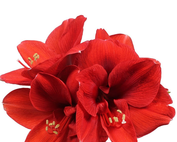 Amaryllis Red (5 stems)