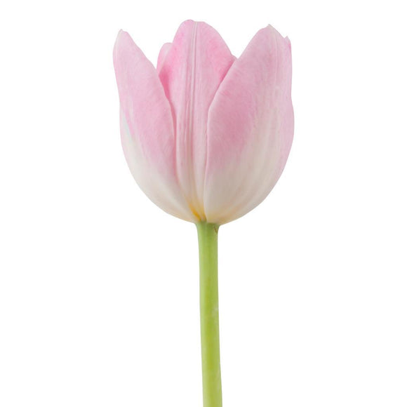 Tulip Light Pink