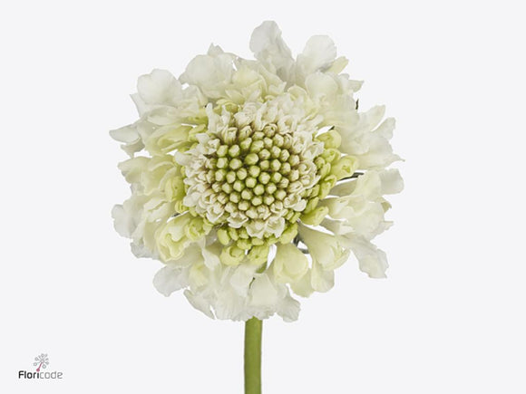 Scabiosa Milky White Scoop