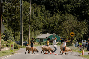 Campers walking sheep across a road