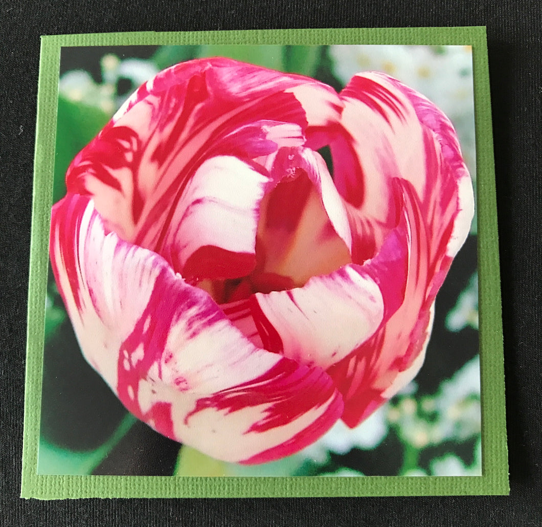 GREETING CARD   Tulip Pink and White   SPECIAL PRICE