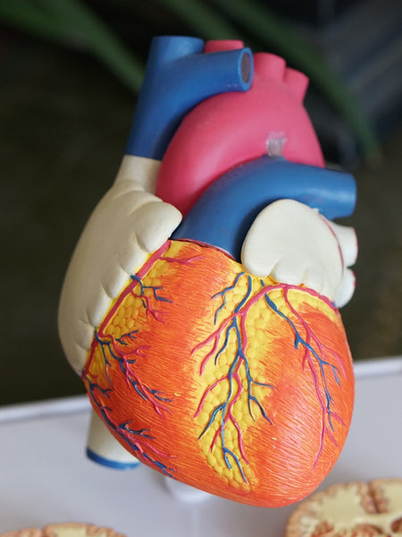 heart anatomy figure