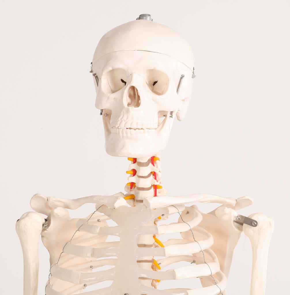 Human Skeleton Anatomical Model 180cm
