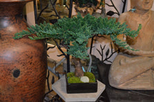 Peace Tree Bonsai