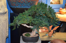 Coastal Bonsai Tree