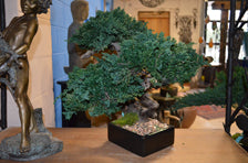 Costal Sankan Bonsai Tree