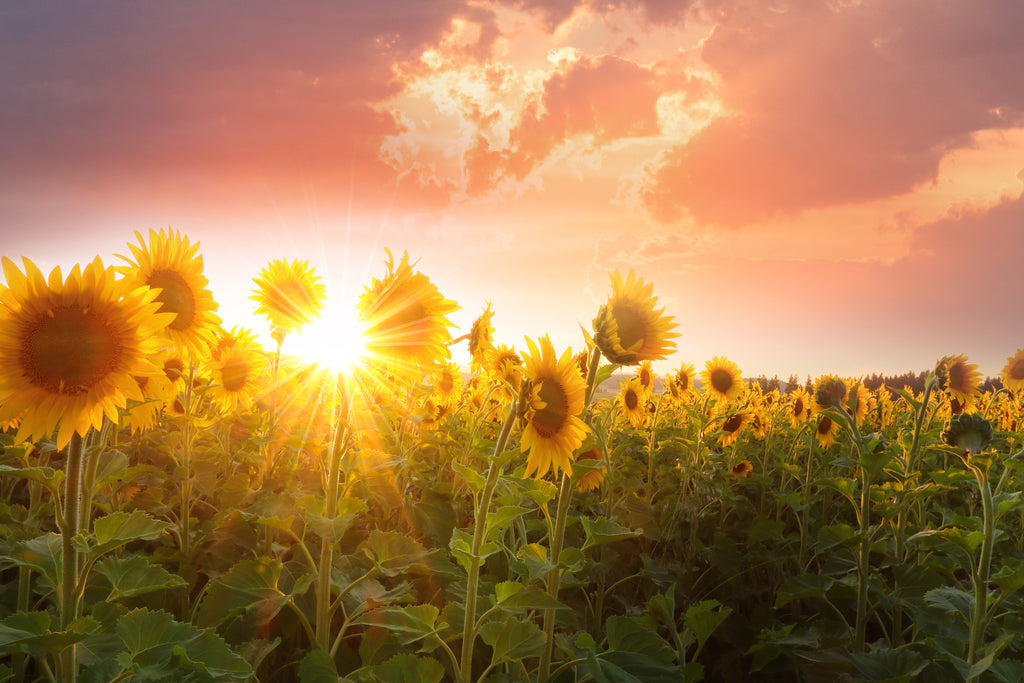 Sunflowers saved lives in Chernobyl?