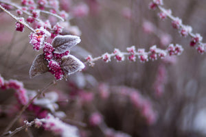 Pink Winter Flowers