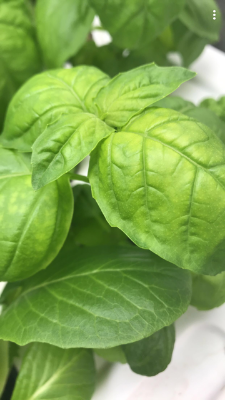 1 oz Large Leaf Basil