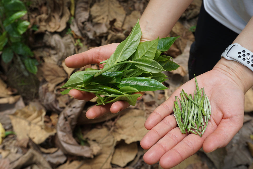 Valerie's hands holding tea leaves. In the right hand are typical tea leaves, whereas the left hand is holding buds, which will be used to make silver needle tea.