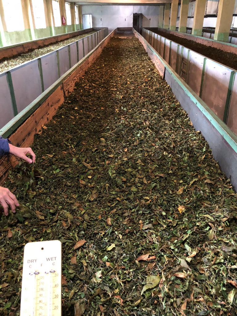 Tea leaves at the end of the withering process, laid out in large troughs. They are much more dry and brown than a fresh tea leaf.