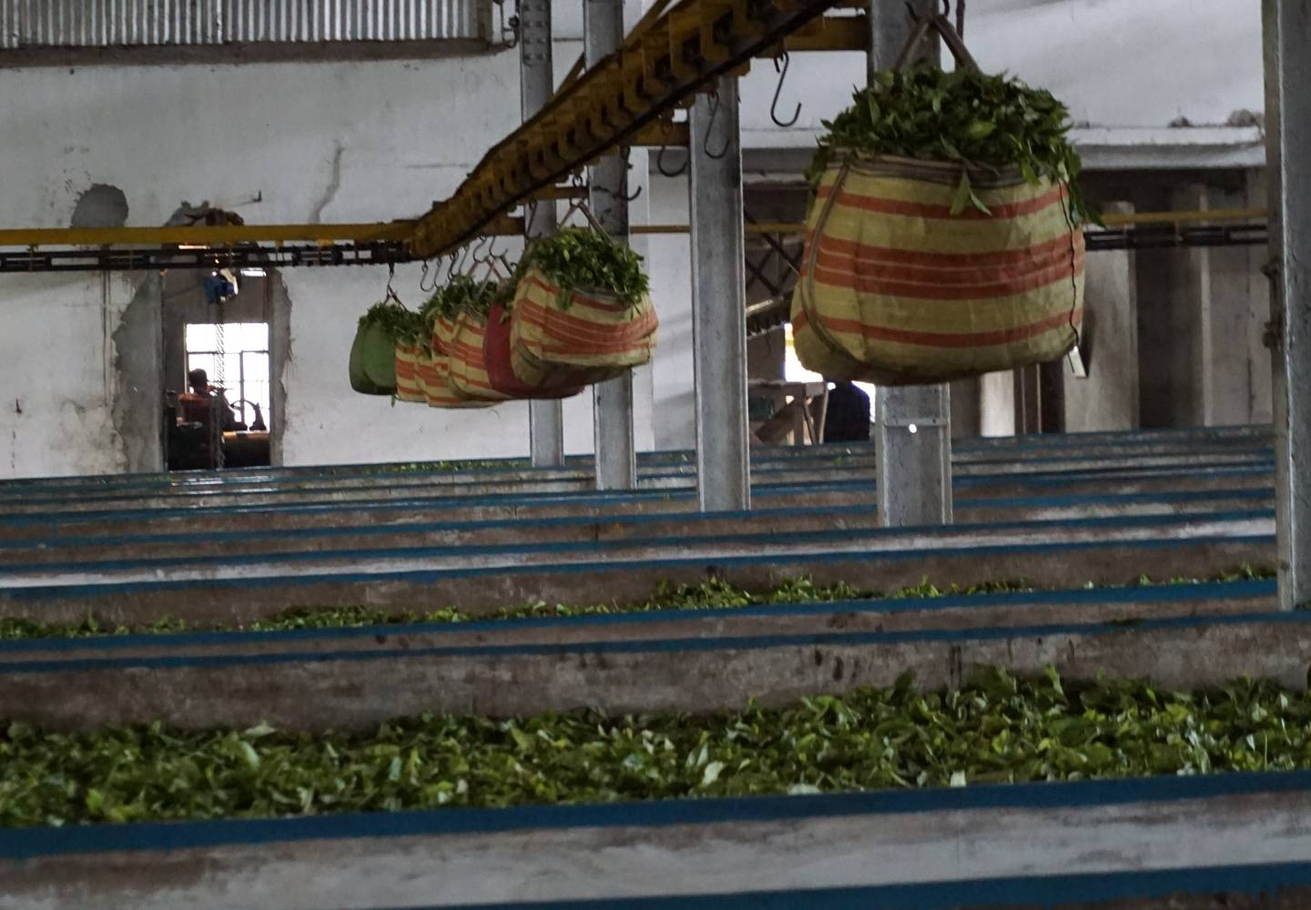Cut Tear Curl (CTC) machinery in India, processing freshly picked tea leaves. Huge bags of tea leaves are hanging on a pulley system, which is sat above belts of tea leaves.