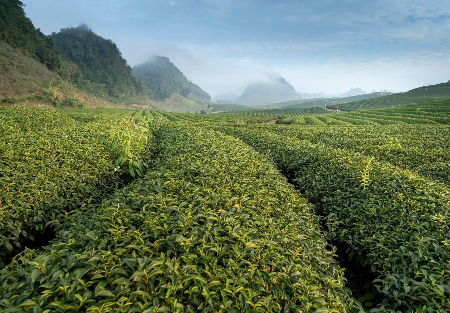 A tea field in China. Thick rows of tea bushes are in the foreground, with misty mountains in the background.