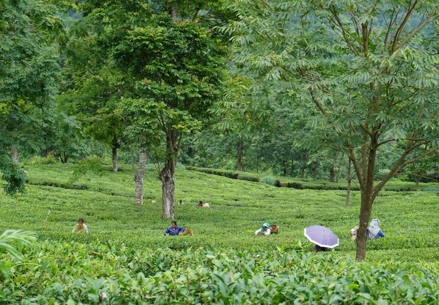 Glorious green tea fields in Darjeeling, India. There's a scattering of trees, but mostly green tea bushes. There are a few people picking tea in the background, wearing traditional hats.