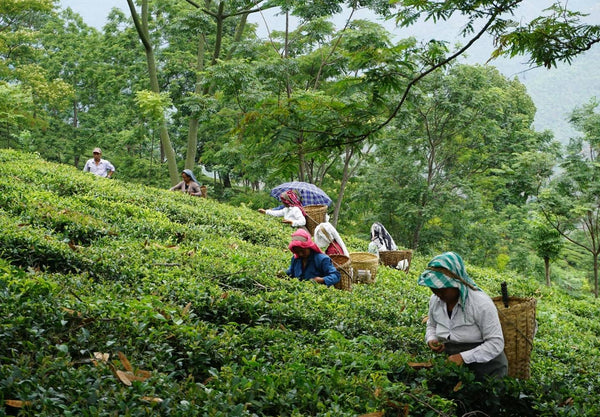 A team of tea pickers in Darjeeling. Wearing head coverings to protect them from the sun, with traditional baskets on their backs to put the freshly picked loose leaves into.