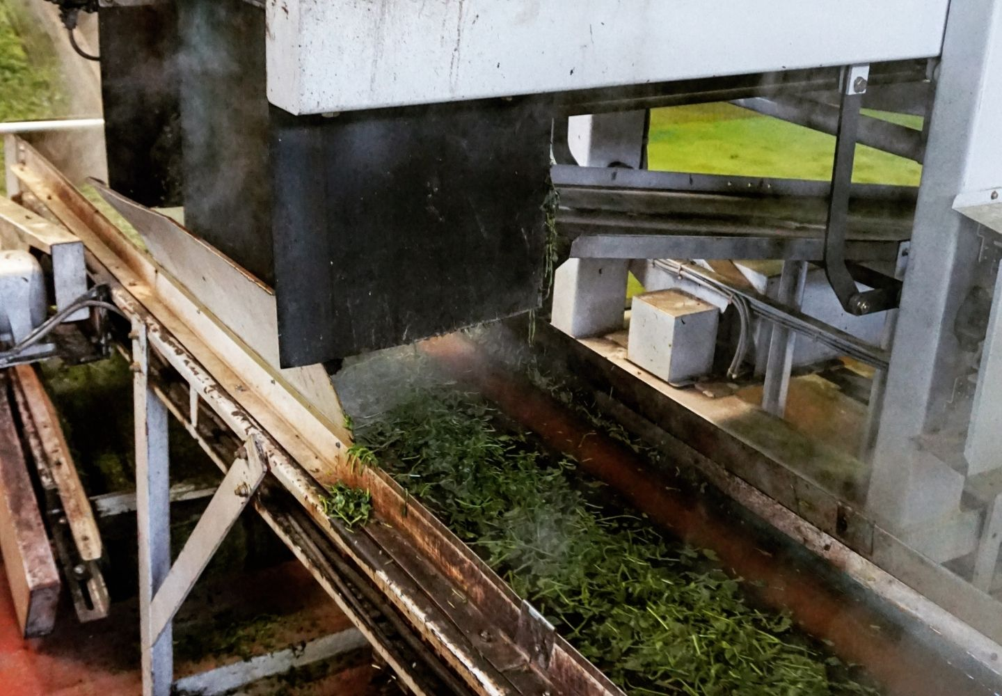 A photo showing a belt covered in freshly steamed tea leaves in Japan.