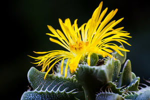 Why We Love Faucaria tigrina – Tiger's Jaw Succulent