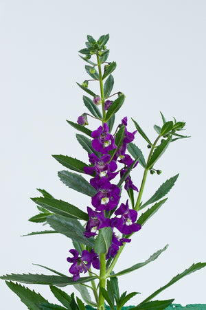 Angelonia 'Big Indigo' Summer Snapdragon