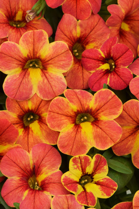 Million Bells 'Chameleon Indian Summer' Calibrachoa