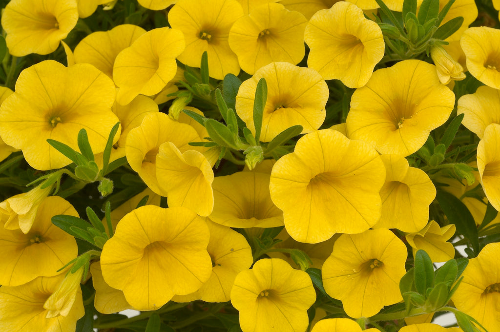 annuals for containers annuals for full sun annuals that attract hummingbirds calibrachoa flower pots hummingbird plant Million Bells mini petunia noa yellow calibrachoa summer annuals yellow million bells
