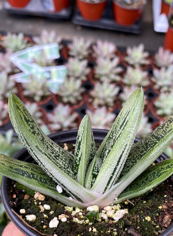 Succulents- Gasteria 'Little Warty'