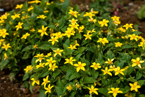 Chrysogonum virginianum 'Green and Gold'