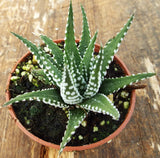 hawarthia big band succulent also known as zebra plant