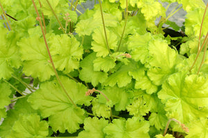 Heuchera 'Lemon Chiffon' Harvest Series