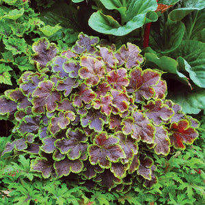 Heucherella 'Solar Eclipse'