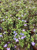 A wonderful ground cover for rock gardens or flowerbeds in full sun or part shade. The rich blue flowers have white eyes and smother the lush backdrop of deep green glossy foliage. georgia blue veronica ground cover