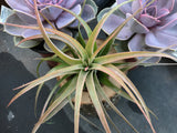 Air Plants, 3 assorted medium size (Tillandsia)